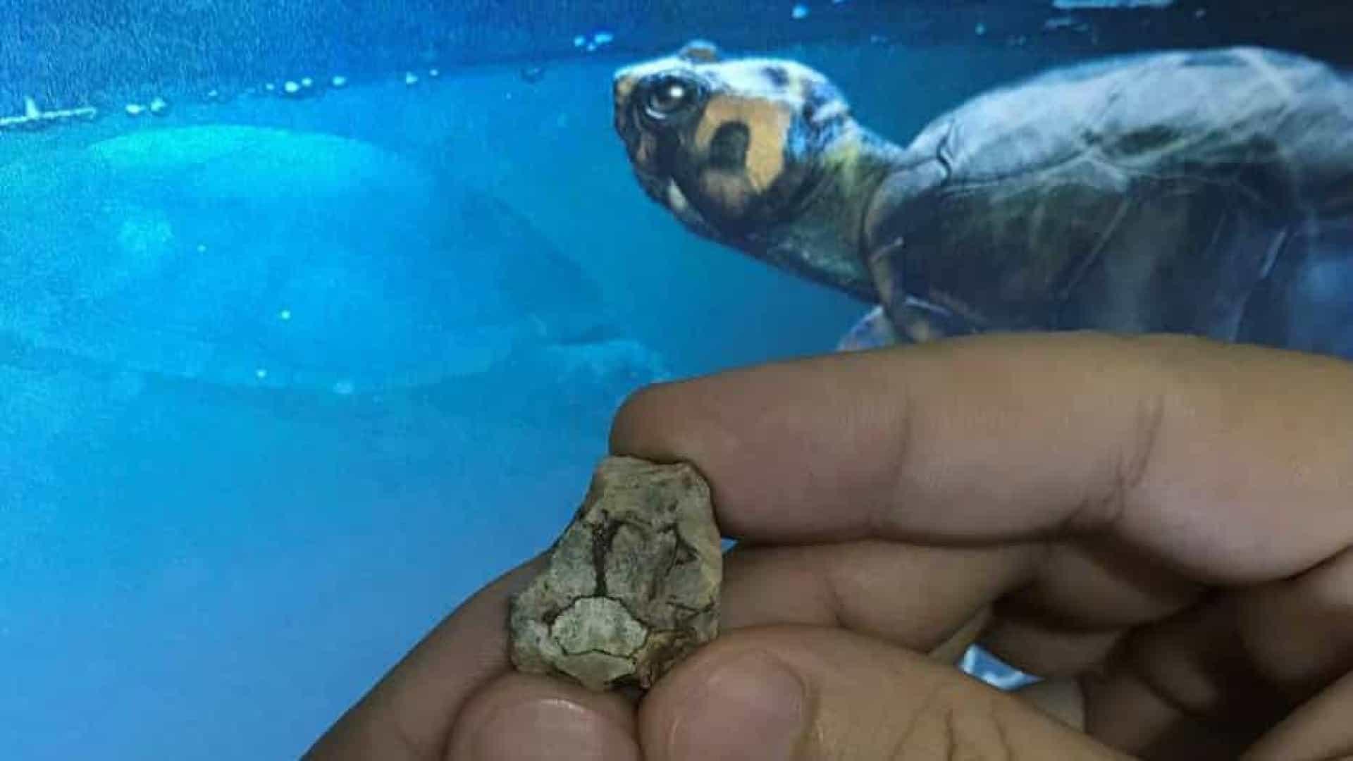 Fóssil revela tartaruga que viveu entre dinossauros no interior de SP