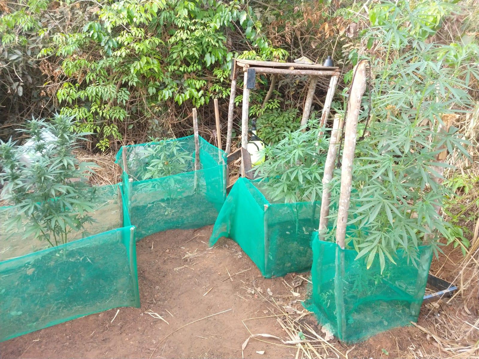 Operação integrada localiza plantação de maconha em mata em Lucas do Rio Verde