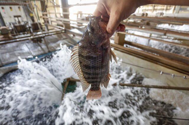 Paraná assume liderança nacional na exportação de tilápia