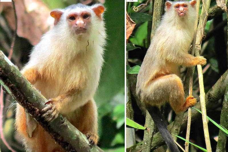 Cientistas encontram nova espécie de macaco brasileiro em Mato Grosso